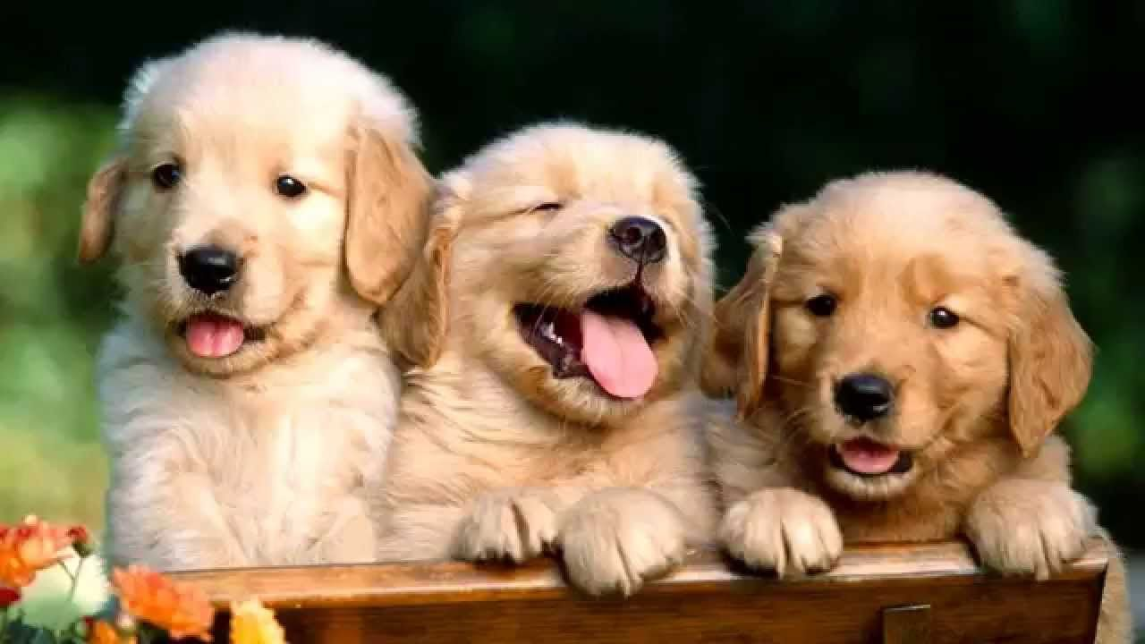 Top 10 Amazing Facts About Golden Retrievers Pros N Cons Dogs