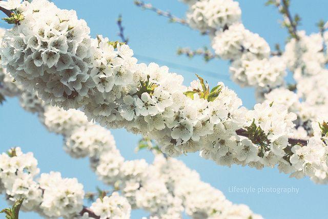 Flori De Cires Sakura Sakura Bloom Flowers
