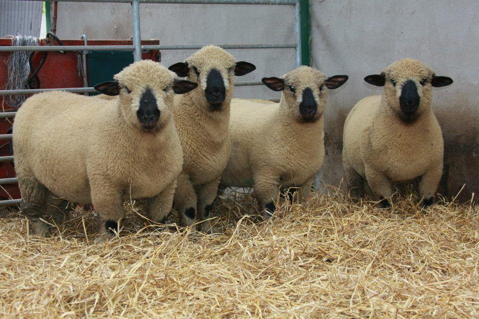 Hampshire Down Lambs Needing Some Trimming De Michelle Mccauley Sheep Breeds Hampshire Sheep Sheep