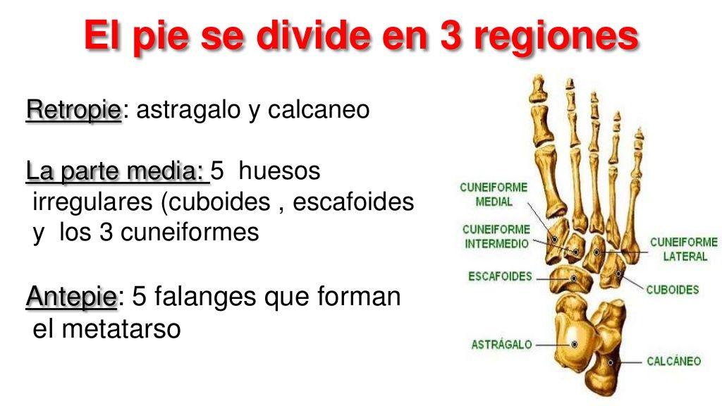 El pie se divide en 3 regiones Retropie: astragalo y calcaneo La ...