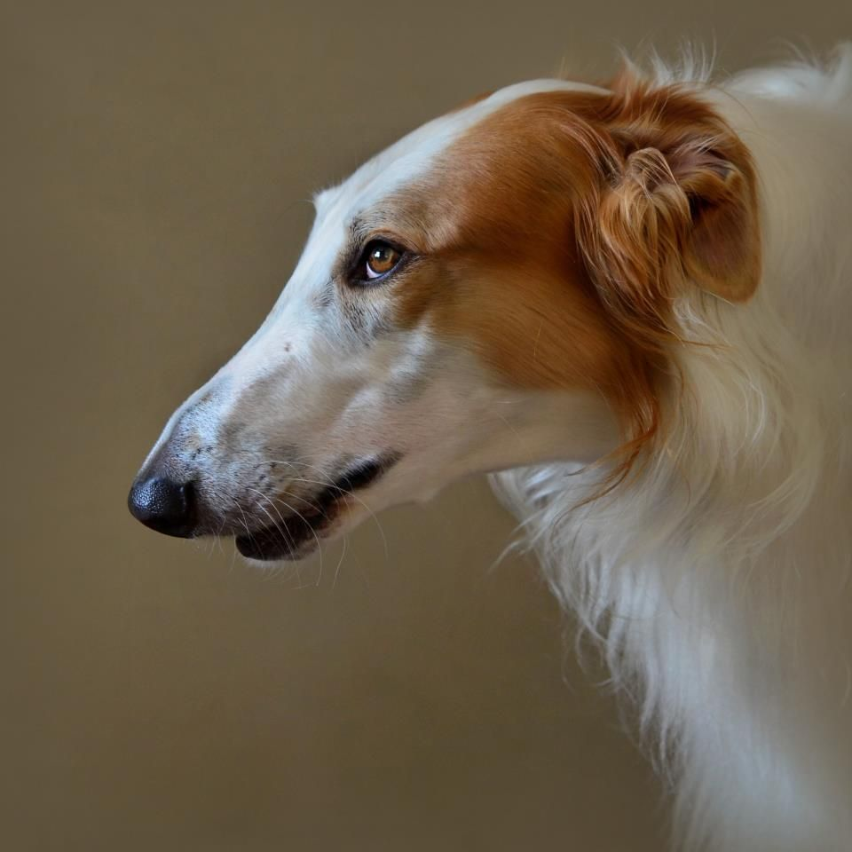 картинки собак русская борзая фото первым пришёл гарвард