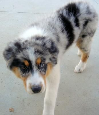 Beautiful Female Blue Merle Australian Shepherd Puppy!, Palmdale ...