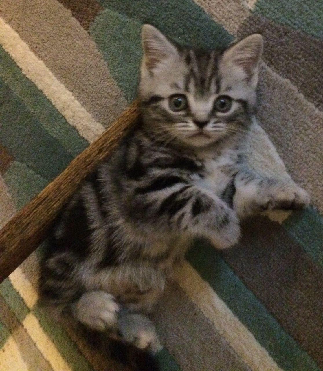 Pin On Tabby Cat Pics