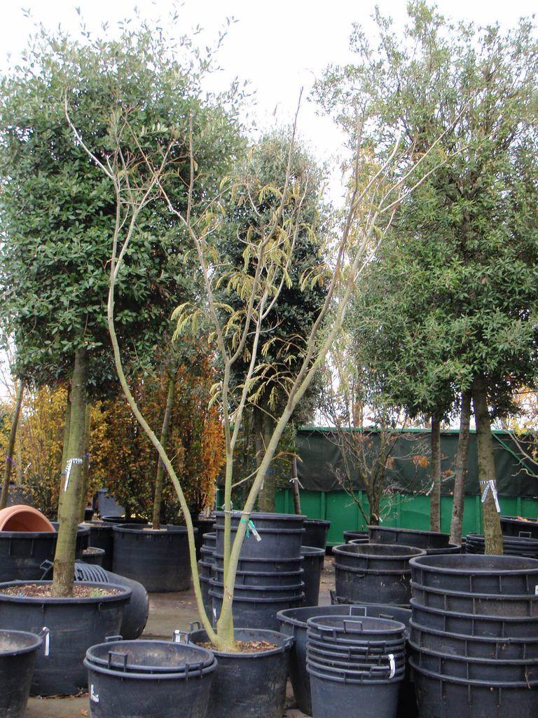 Albizia julibrissin ombrella seidenbaum ombrella seidenf denakazie ombrella mehrst mmig - Kleiner baum garten ...