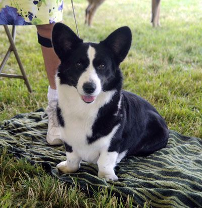 Breeder Buzzwords The Cardigan Welsh Corgi Best In Show Daily
