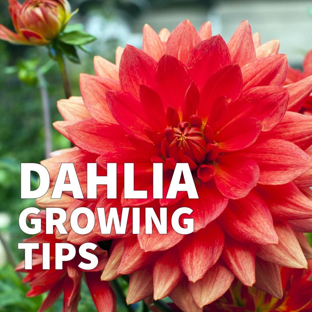 Start with these basics for growing dahlias from tubers. The complete guide includes container growing, extending the flowering season, propagation methods, and winter storage.