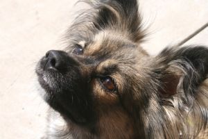 Adopt Gracie On Papillon Dog Pup Patrol Dogs