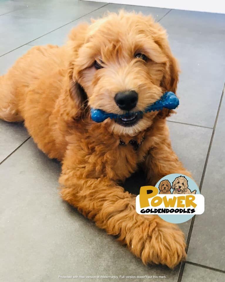 Mini teddybear english goldendoodle puppy idaho california