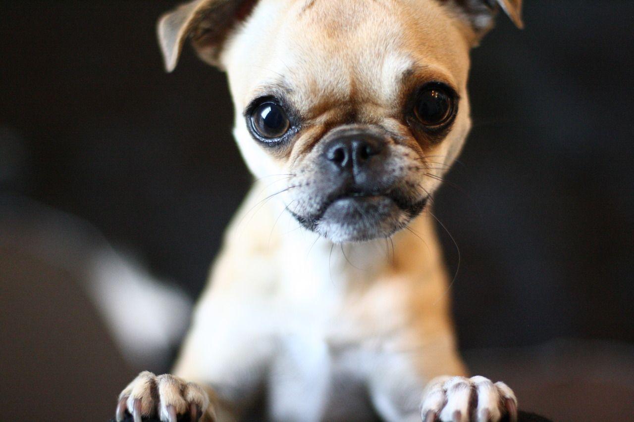 Chug Dog Chihuahua Pug Mix Info Temperament Grooming Training