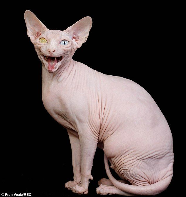 The Odd Eyed Hairless Sphynx Cat Who S A Prize Winning Champion Hairless Cat Cat Breeds Sphynx Cat