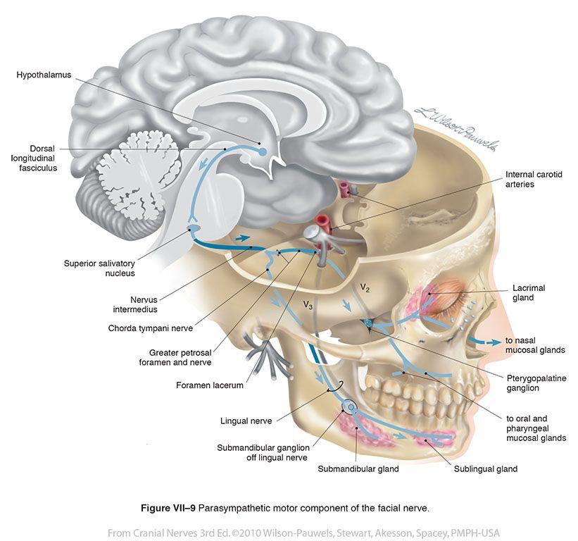 Facial VII - Cranial Nerves   Neurología   Pinterest   Anatomía ...