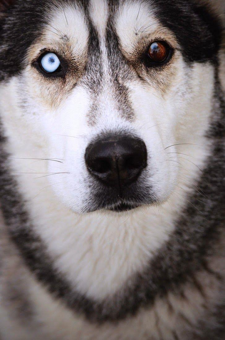 The Most Beautiful Dog In World Siberian Husky Siberian Husky