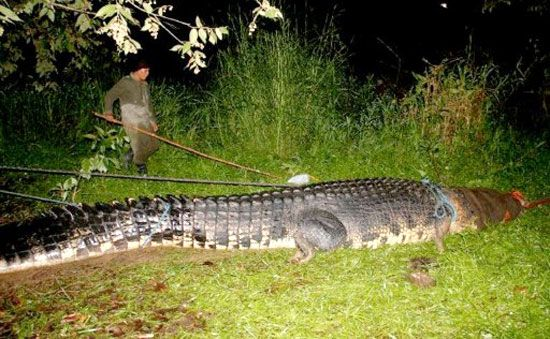 Lolong A Metre Foot Saltwater Crocodile Captured In - Meet worlds largest crocodile caught philippines