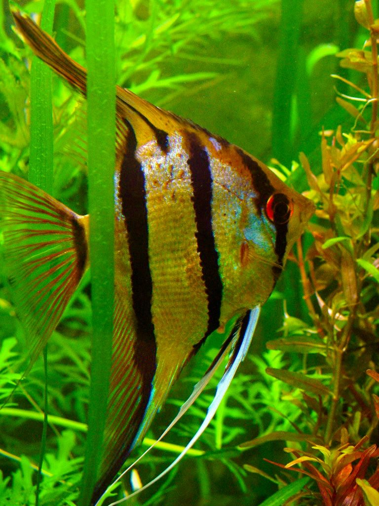 Freshwater aquarium fish angelfish -  Rio Nanay Angelfish Peruvian Wild Spotted Angels Freshwater Aquariumaquarium Fishangelfishbeautiful
