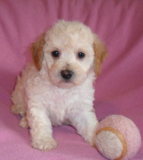 Fi Fi Female Teddy Bear Bich Poo Puppy For Sale In Ohio 600 Puppies For Sale Pup Pets