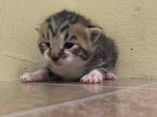 TO BE DESTROYED 5/19/14 ** BABY ALERT!! GURGI IS ITZEL'S BABY AND SHE'S ONLY 3 WKS OLD. PLEASE HELP SAVE THIS FAMILY TONIGHT OR IT MAY BE THEIR LAST NIGHT ALIVE. FOSTER, ADOPT OR PLEDGE!! * Manhattan Center  My name is GURGI. My Animal ID # is A0999817. I am a female blk tabby and gray domestic sh mix. The shelter thinks I am about 3 WEEKS old.  I came in the shelter as a STRAY on 05/14/2014 from NY 10456. I came in with Group/Litter #K14-177385.