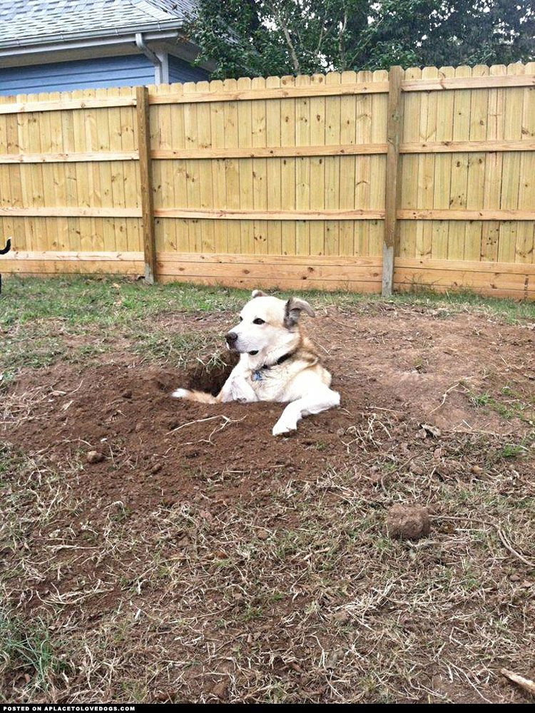 This dog loves digging holes… and then sitting in them and staring at everybody Visit our poster store Rover99.com