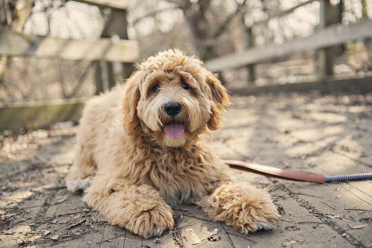 13 Cute Curly Haired Dog Breeds In 2020 Dog Breeds Low Maintenance Dog Breeds Hypoallergenic Dogs