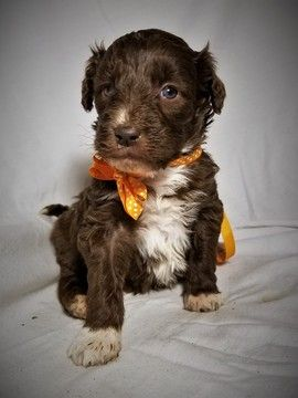 Litter of 4 Aussiedoodle puppies for sale in MONTROSE, CO. ADN-50871 on PuppyFinder.com Gender: Female. Age: 4 Weeks Old