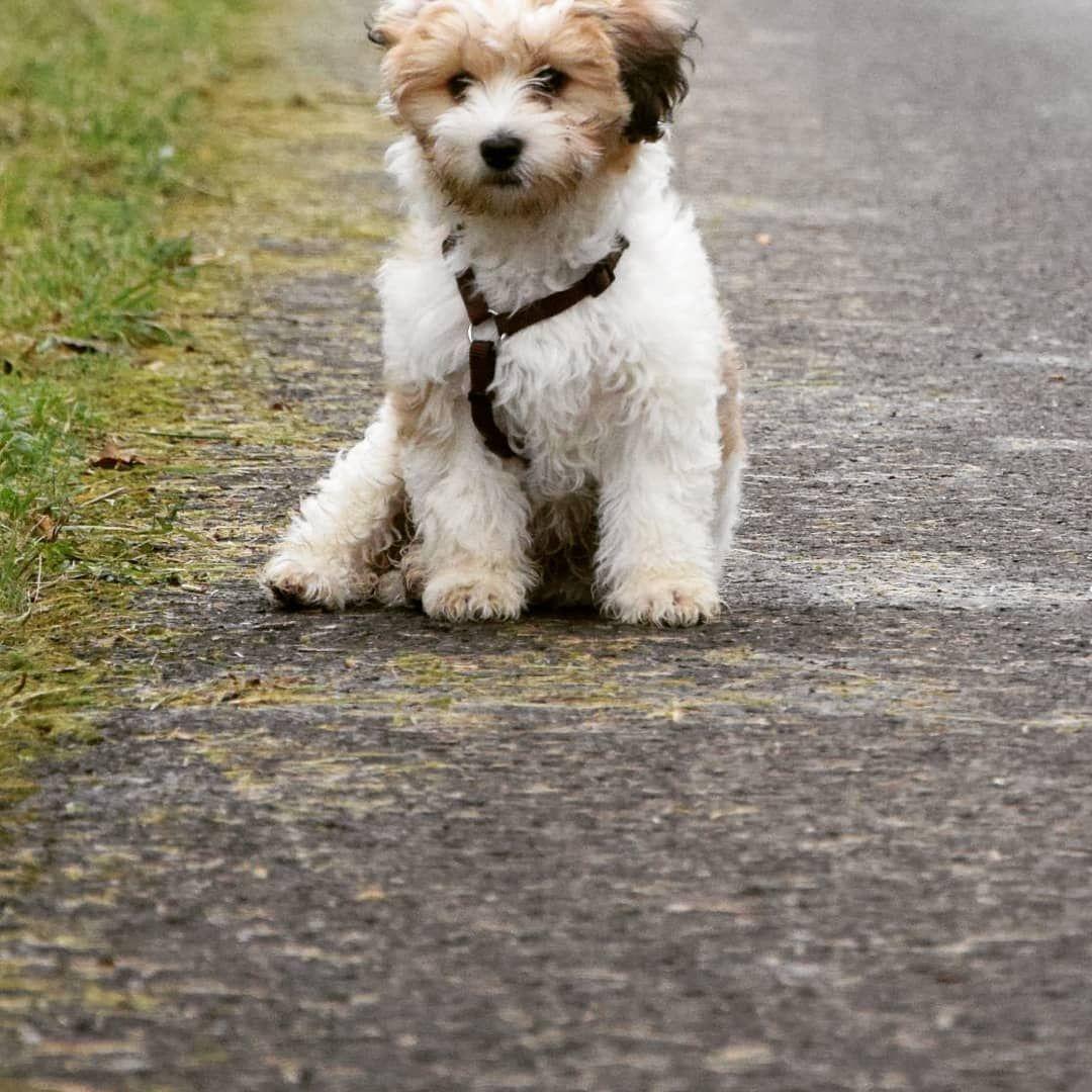 Kleines Model Havaneser Malteser Mischling Wuschel Hundeliebe Welpe Flauschig Najawuschel Mischling Malteser Welpen