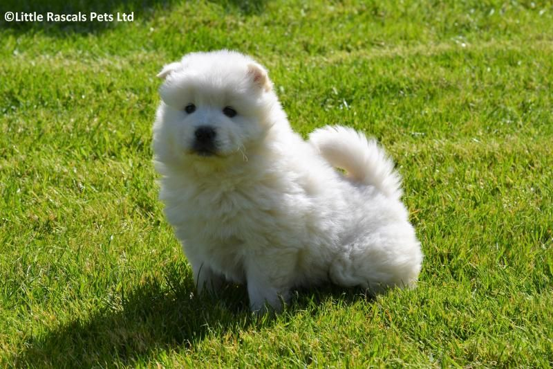 Chow Chow X Samoyed Puppies Designer And Cross Breed Puppies For