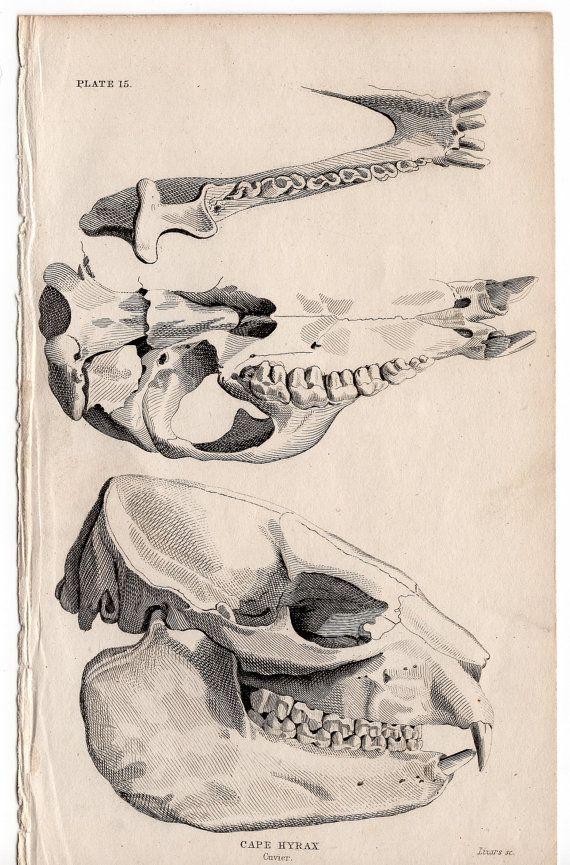 1824 HORSESHOE BATS LITHOGRAPH - original antique print - chiroptera ...
