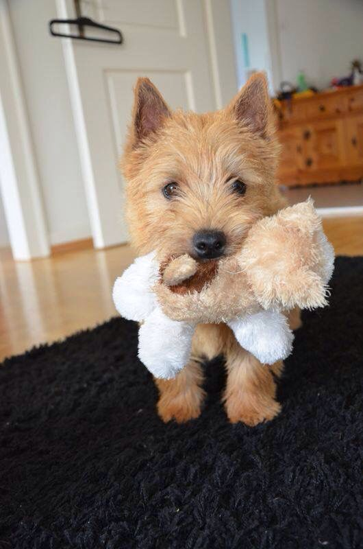 Cairn Terrier Westies Derived From This Breed Cairn Terrier