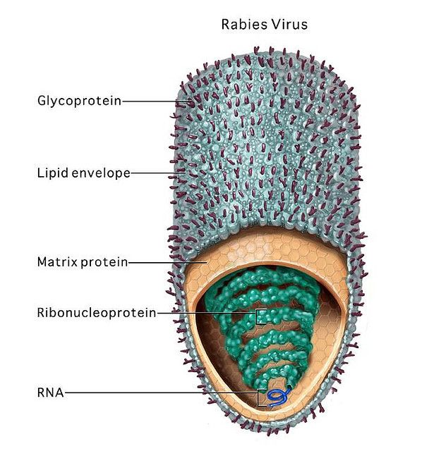 Image result for rabies virus