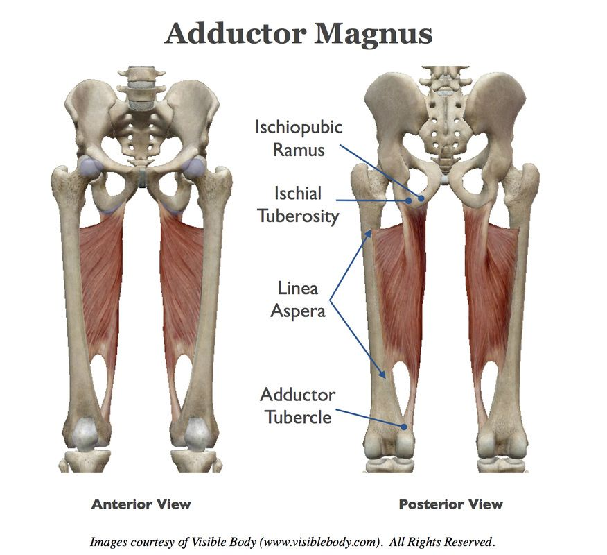 Adductor magnus. | anatomy | Pinterest | Fitness inspiration and Yoga