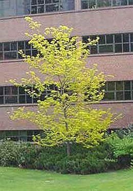 christusdoorn - Gleditsia triacanthos 'Sunburst' - Openbaar groen