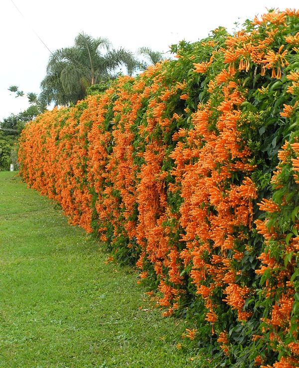 Orange trumpet creeper or brazilian flame vine for Climbing flowering plants for fences