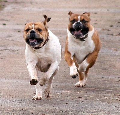 "Olde English Bulldogge ""Castlebulls"" Bulldogzucht"