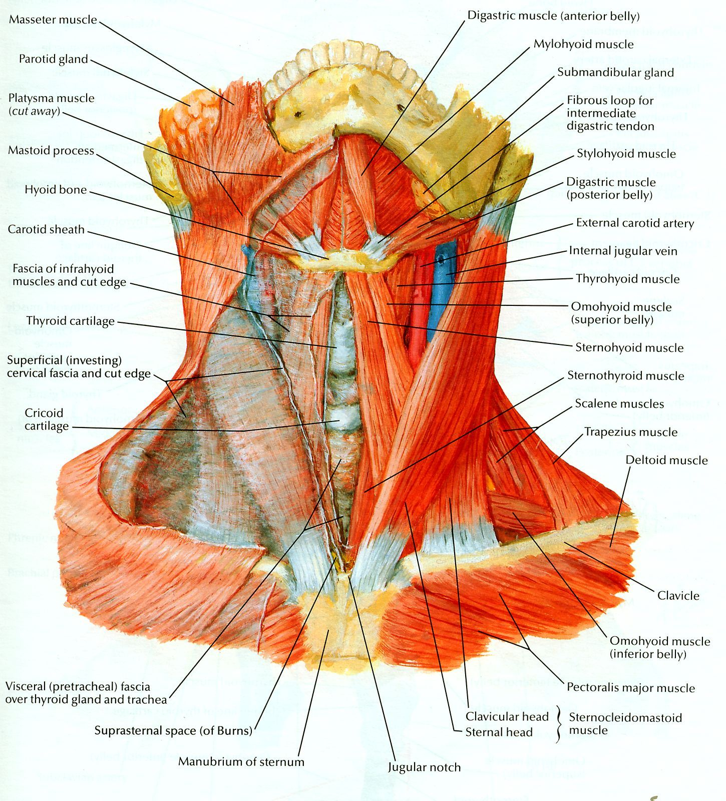 Netter 023 Neck Muscles Anterior View | anatomy of muscles ...