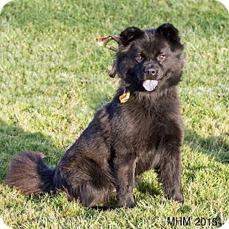 Pictures Of Pretty A Chow Chow Schipperke Mix For Adoption In