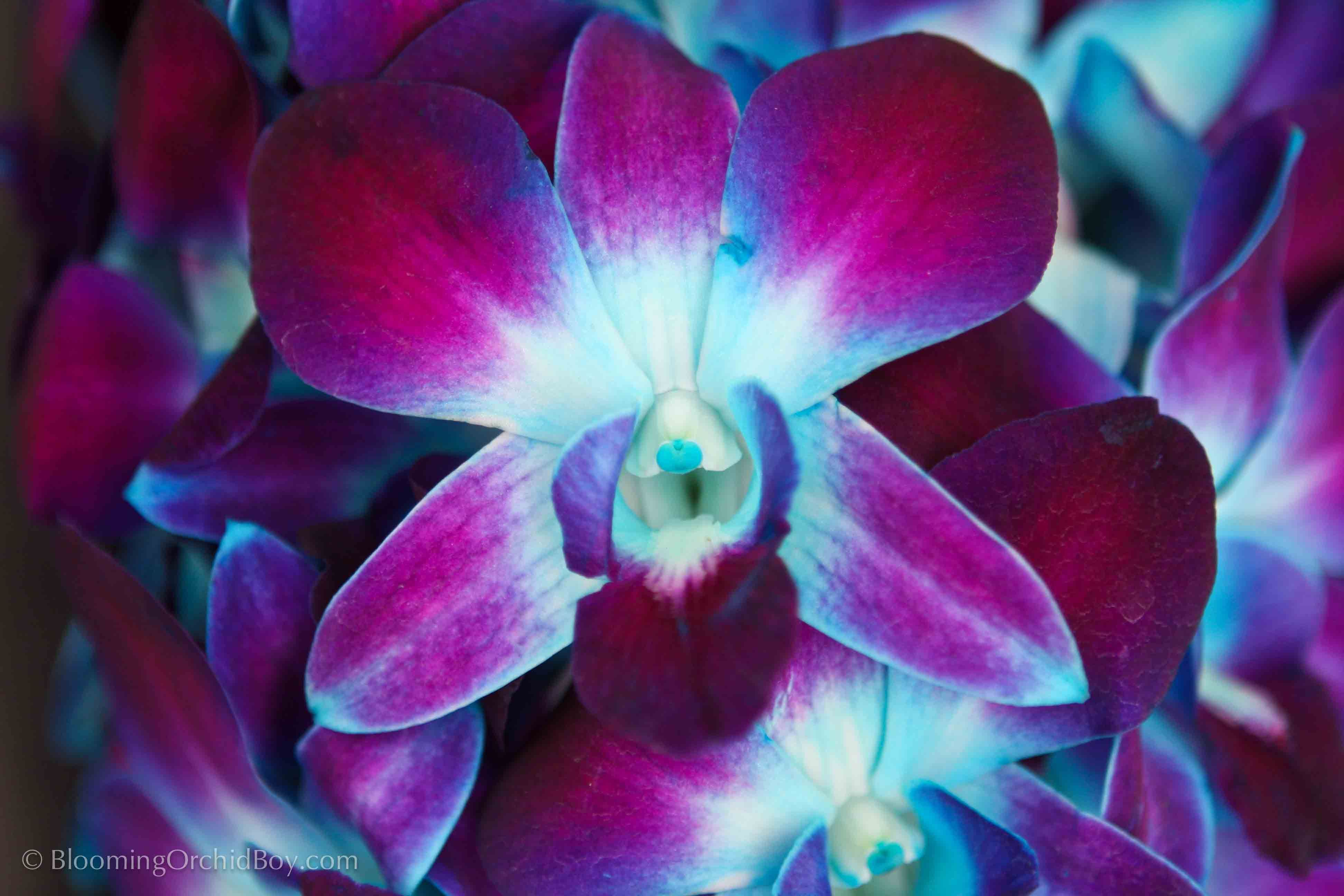 purple and blue orchid close up | flowers | Pinterest ...