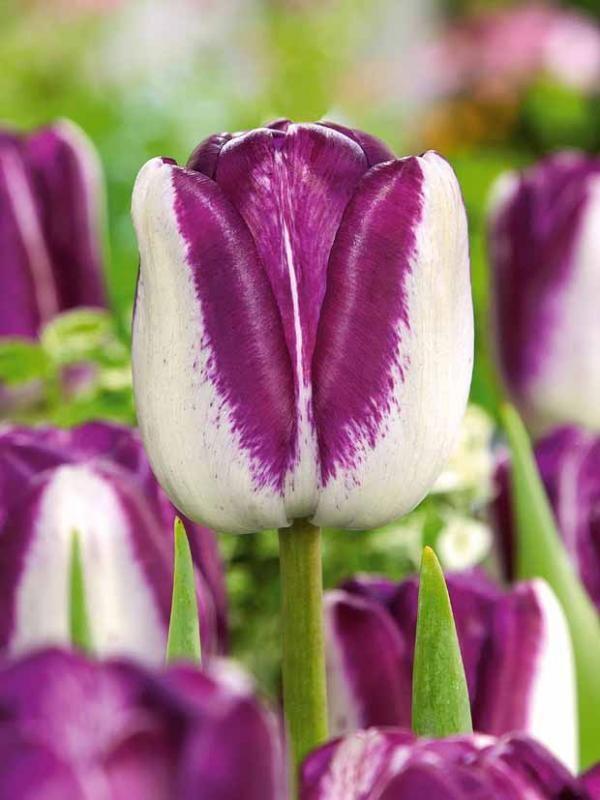 tulipes longues tiges 39 shium 39 plantes aux couleurs. Black Bedroom Furniture Sets. Home Design Ideas
