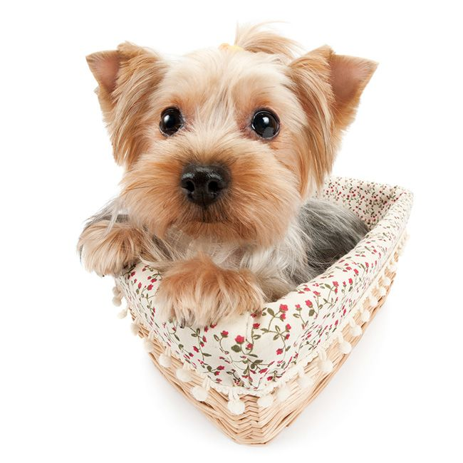 Artlist Collection The Dog Yorkshire Terrier Share This Cuteness With Your Friends We Guarantee Smiles Yorkshire Terrier Dog Yorkshire Terrier Terrier