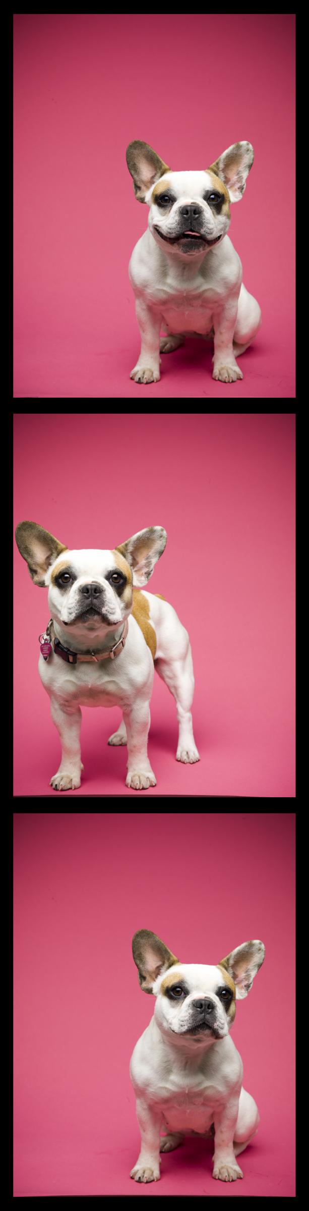 Limited Edition French Bulldog Tee | Stuff. | Pinterest | Modern ...