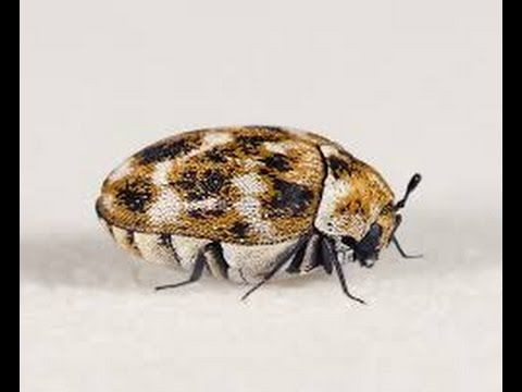 Carpet Beetles Are Insect Pest Attacking Homes All Around The World The Problem With This Beetle Is That It Eats Almost Everything I Insect Pest Insects Pests