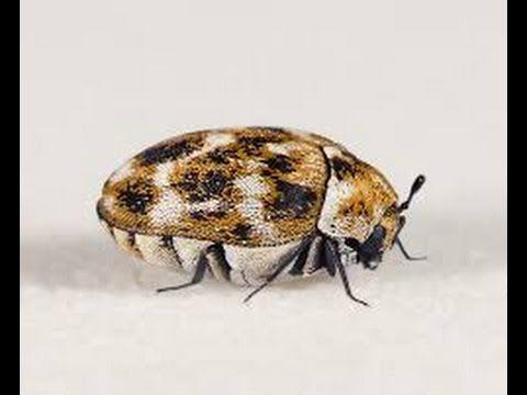 Bed Bugs And Carpet Beetles Carpet Beetle Eggs Bed Bugs Bedroom Carpet