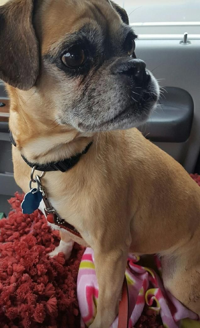Puggle Dog For Adoption In St Cloud Mn Adn 510638 On