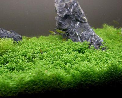 10 Plants Aquarium Freshwater Aquarium Plants Aquarium Fish Tank