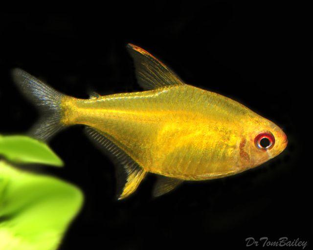 Image Result For Lemon Tetra Tropical Fish Fish Pet Freshwater Fish