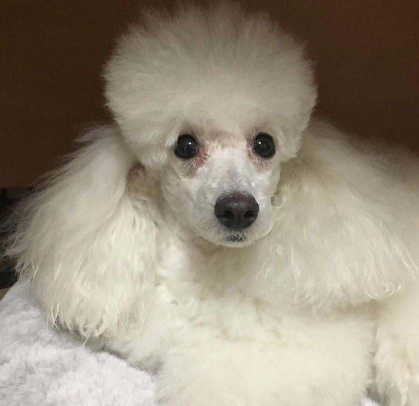 125 Best Poodle Dog Names Dog Names Poodle Dog