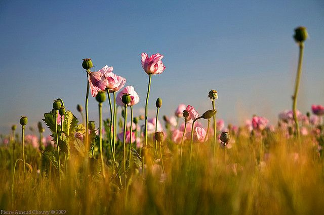 Opium poppy field  in bloom.