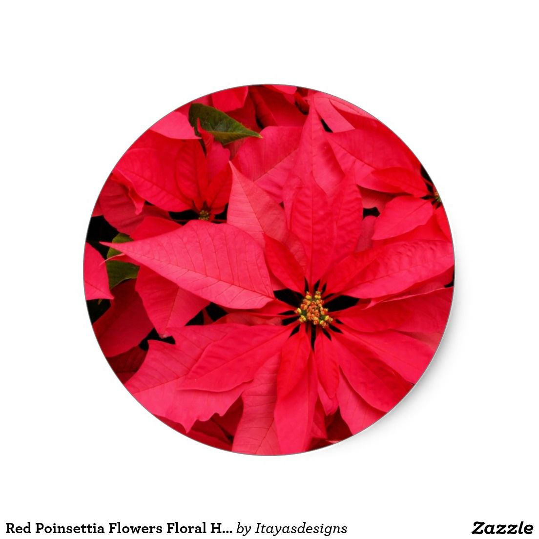 Red Poinsettia Flowers Floral Holiday Greetings Classic Round Sticker Zazzle Com Poinsettia Plant Poinsettia Care Christmas Plants