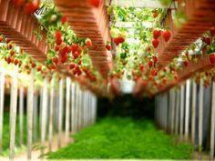 Como cuidar dos morangos. Plantar morangos no jardim de casa ou na horta é uma ótima opção para poder desfrutar desta fruta rica que encanta adultos e crianças. É uma fruta que pode ser semeada em vasos de barro ou diretamente...