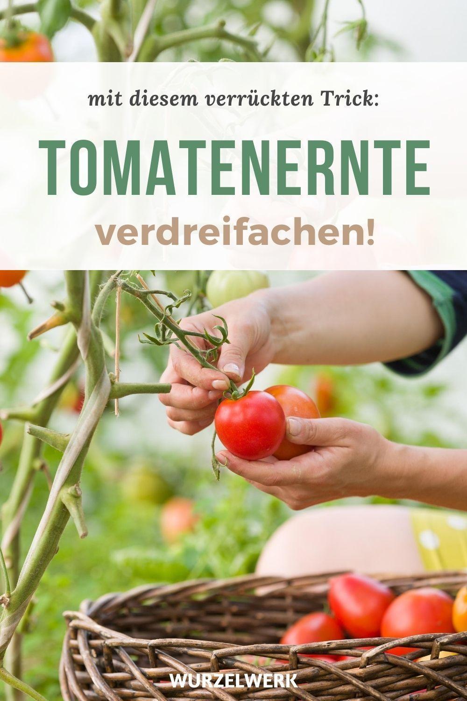 Deine Tomaten Bluten Fallen Ab So Rettest Du Deine Fruchte Und Verdreifachst Deine Ernte Wurzelwerk In 2020 Gemuse Anbauen Gefulltes Gemuse Tomaten Pflanzen