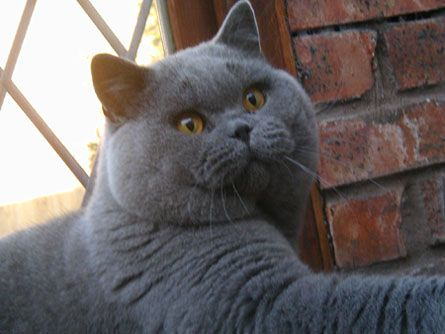 One Day I Ll Persuade Stu To Let Me Have A Huge British Shorthair Like This One British Shorthair British Blue Cat Cat Love