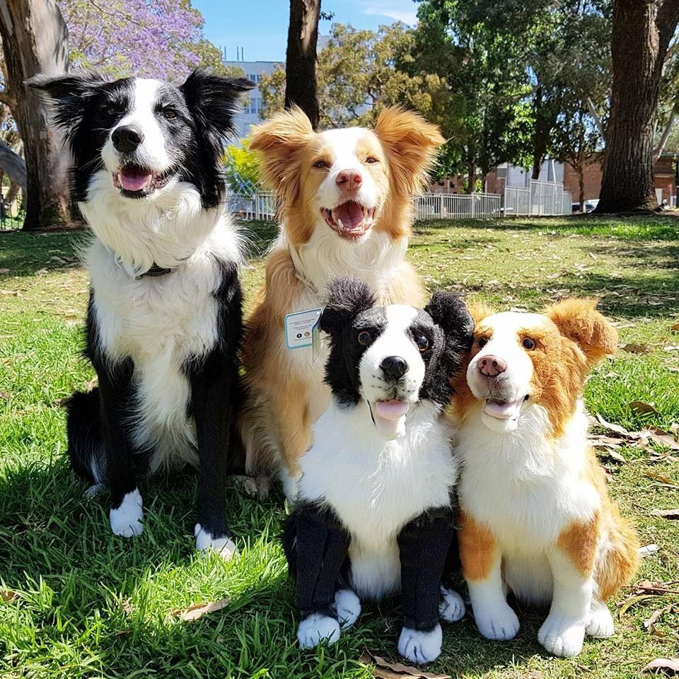 Custom Border Collie Plush Get A Custom Animal Of Your Pet Turn Your Pet Into A Stuffed Animal Clone Your Pet Custom Plush Custom Stuffed Animal Gif